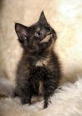 Small cute kitten tortoiseshell beauty — Stock Photo