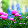 Stock Photo: Pink peony flowers