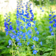 Blue flowers in a garden - 图库照片