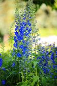 Blue flowers in a garden — Stock Photo