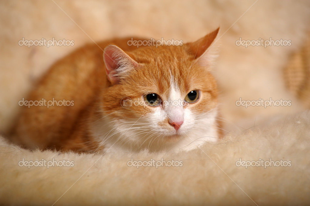 Ginger cat with white breast — Stock Photo #7440364