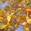 Maple leaves — Foto de stock #7514797