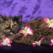 Tortoiseshell Persian cat with flowers — Stock fotografie