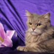 Stock Photo: Beautiful fluffy gray cat and flower