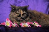 Tortoiseshell Persian cat with flowers — Stock Photo