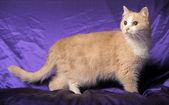 Fawn cat — Stock Photo