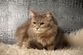 Beautiful fluffy gray cat — Stock Photo
