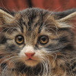 Stock Photo: Siberian kitten