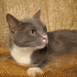 Gray and white shorthair cat — Stock Photo