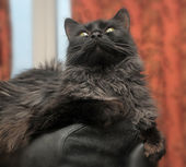 Beautiful black cat — Stock Photo