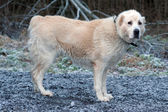 Anadolu çoban köpeği — Stok fotoğraf