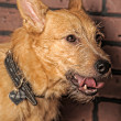 Red mongrel half-breed dog — Foto de Stock