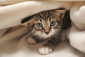 Kitten peeping out from under the blanket — Stock Photo