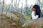 Bernese cattle dog dog in the nature — Stock Photo