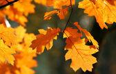 Carvalho vermelho folhas de outono — Foto Stock