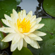 Yellow lotus flower - Stock Photo