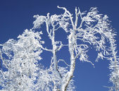 Branches of trees in snow — Foto de Stock