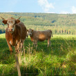 Stock Photo: Bulls on Meadow