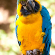 Blue-and-yellow Macaw — Stock Photo #7005401