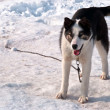Dog on snow — Stock Photo #7386186