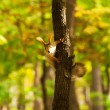 Red squirrel sitting on the tree — Stock Photo #7409224