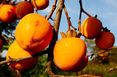 Persimmon on the branch — Stock Photo