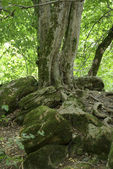 Old tree above 5000 years old burial mound. — Stock Photo