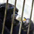 Black young chimpanzee in cage at zoo eating white ice-cream. — Stock Photo