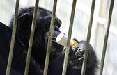 白のアイスクリームを食べる動物園で檻の中で黒の若いチンパンジー. — ストック写真