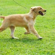 Little golden retriever dog running on the lawn — Stock Photo