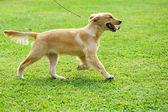 Little golden retriever dog running on the lawn — Stock Photo