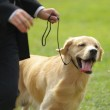 Master playing with golden retriever dog — Stock Photo