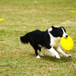 Border collie dog running — Stock Photo #6931151