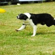 Border collie dog running — Stock Photo