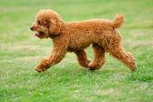 Perro caniche toy corriendo — Foto de Stock