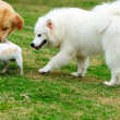Stock Photo: Three dogs playing