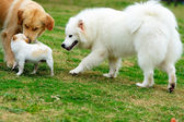 Three dogs playing — Stock Photo