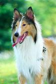 Collie rough dog — Stockfoto
