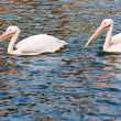 Two pelican birds swimming — Stock Photo