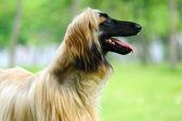 Afghan hound dog — Stock Photo