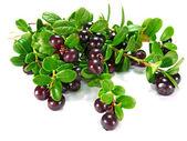 Berry сowberry — Stock Photo