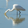 Great White Egret feeding — Stock Photo