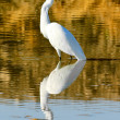 Great White Egret Portrait — Stock Photo