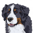 Stock Vector: Vector Bernese Mountain Dog breed