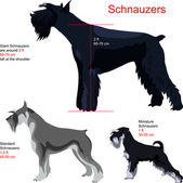 Vector set Schnauzers — Stock Vector