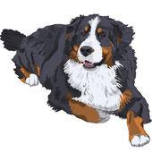Vector Bernese Mountain Dog breed — Stock Vector