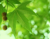 Leavs vert — Photo