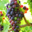 Bunch of black grapes — Stock Photo