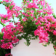 Bougainvillea spectabilis on the white wall — Stock Photo
