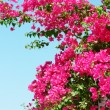 Stock Photo: Pink blooming bougainvilleas against blue sky